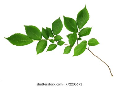 Branch of fresh green elm-tree leaves isolated on white