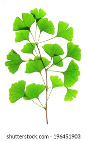 Branch with fresh green leaves in the spring of the ginkgo tree (Ginkgo biloba) isolated in front of white background