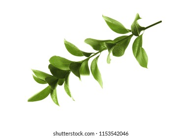 Branch with fresh green Ruscus leaves on white background