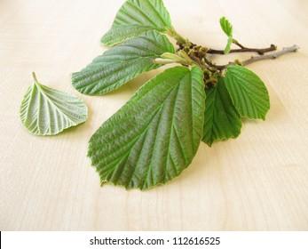 Branch of fresh hamamelis