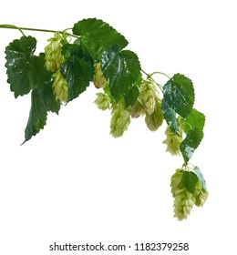 Branch of fresh hops isolated on white with wet leaves after rain ready to harvest for beer brewery