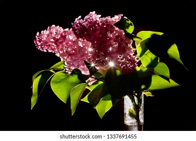 A branch of fresh lilac with flowers standing in a bottle of water. Black background