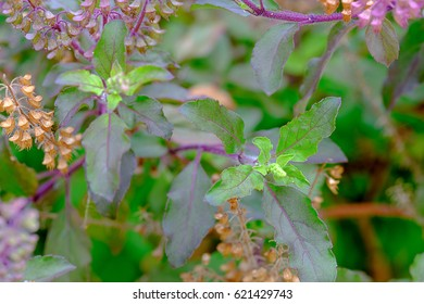 Branch of fresh red holy basil and holy basil flower