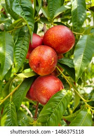 branch of fresh red nectarines