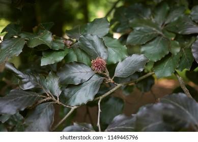 branch with fruit of  Fagus sylvatica purpurea tree