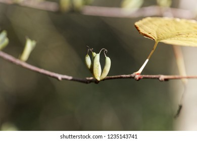Branch with fruits of a Katsura tree (Cercidiphyllum japonicum)