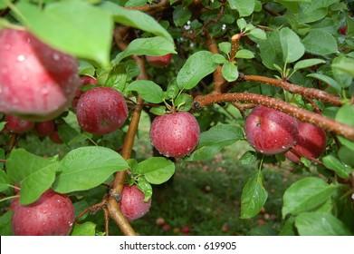 Branch full of apples