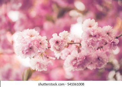 Branch full of pink faded flowers in summer blossom time on pink blurred soft background