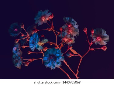 branch of garden roses. dark background, neon colors, blue buds, abstract composition.