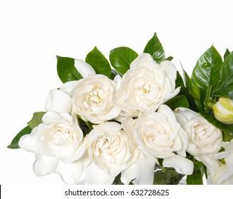 Branch Gardenia jasminoides or Cape jasmine flower on white background