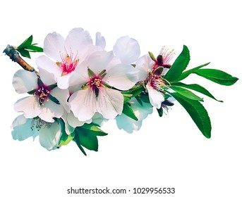 A branch of gentle white almond flowers. Spring flowering trees. Isolate on white background.