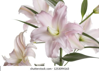 A branch of gently pink flowers of a terry lily isolated on a white background.