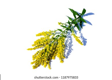 Branch goldenrod isolated on white background