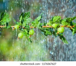The branch of gooseberry bush in the rain