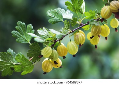 branch of gooseberry in the garden