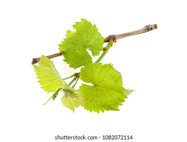 Branch of grape vine with young leaves, white background