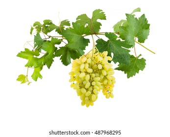 Branch of grapes with berries and leaves, grapevine isolated on white background