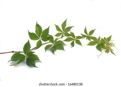 Branch of grapes with green leaves on a white background.