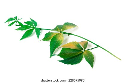 Branch of grapes leaves (Parthenocissus quinquefolia foliage). Isolated on white background.