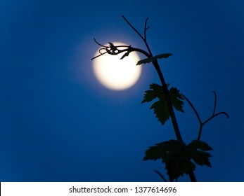 A branch of a grapevine at night with the moon illuminated (intentionally out of focus) in the background.