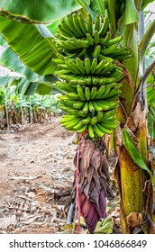 Branch of green bananas in tropical plantation