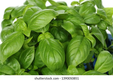 Branch of green basil leaves isolated on white background