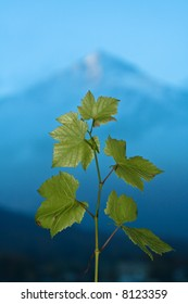 A branch of green grape leaves points skyward in front of a mountain.