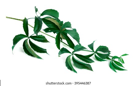 Branch of green grapes leaves (Parthenocissus quinquefolia foliage). Isolated on white background.