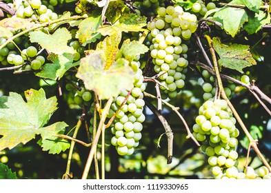 A branch of green growing grapes on a sunny day