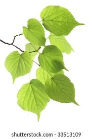 Branch green leaf