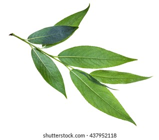 branch with green leaf (back side) of willow (Salix acutifolia, sharp-leaf willow) isolated on white background