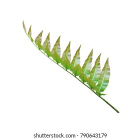 Branch of green leafs isolated on white background