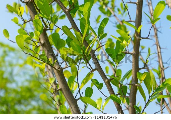 TÌNH YÊU CÂY CỎ  - Page 15 Branch-green-leave-artabotrys-spinosus-600w-1141131476
