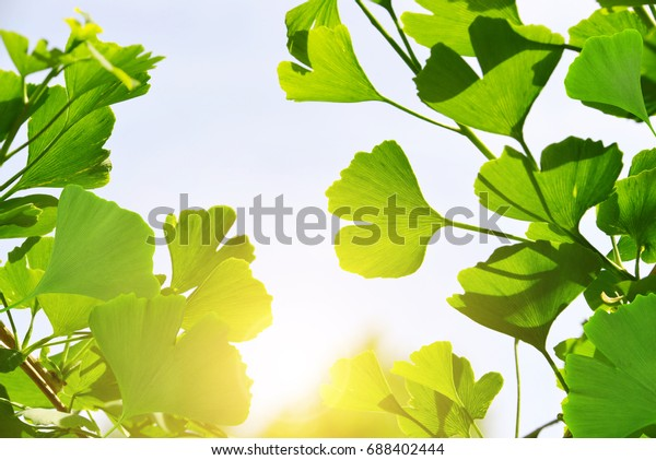 Branch with green leaves of Ginkgo Biloba.