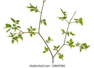 Branch with green leaves isolated