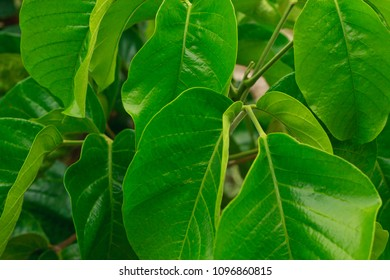 branch of green leaves of santol on sental tree plant  sandoricum koetjape