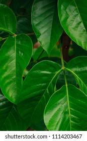 branch of green leaves of santol on sental tree plant  sandoricum koetjape fruit