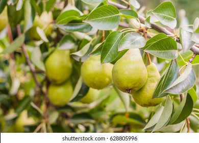 Branch with green pears on a tree in summer.