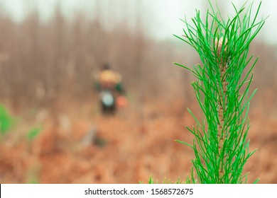Branch of green pine close up. Forester in the background with a trimmer. Care of forest stands. Forestry and afforestation.