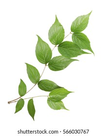 branch of a green plant isolated on white background