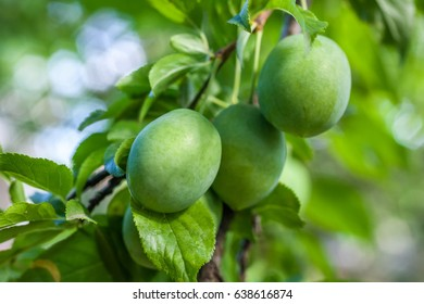 Branch with green plums in a garden at the house.