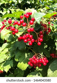 Branch of green tree with fresh bright red ash berries in sun beams. Beautiful red rowan branch. Autumn nature. Rowan in the sun after rain in forest close up. Autumn green ash berry shrub.