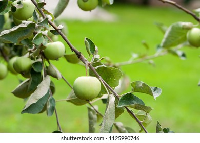 Branch with green unripe growing apples in an Apple Orchards