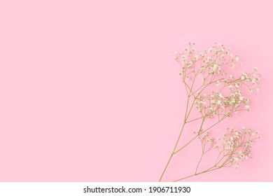 Branch of gypsophila flower on a pink background. Gentle concept with copyspace.