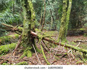 A branch has fallen between two twisted tree trunks - almost all visible wood has been enveloped by moss. Dry red leaves cover the forest floor as brilliant green leaves watch on.