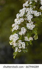 A branch of Hawthorn tree showing its white flowers