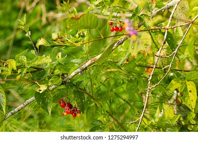 branch holding deadly nightshade berries glowing red