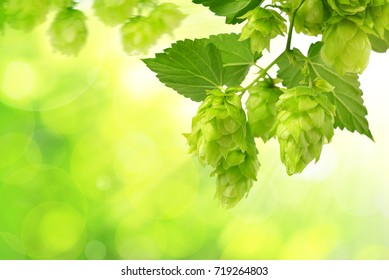 Branch of hop with cones and leaves (Humulus lupulus) on green natural background.
