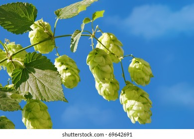 Branch of hop front of blue sky background