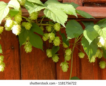 A branch of hops with cones on a background of a brown wooden wall
